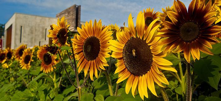 Sunflowers on UMD Campus