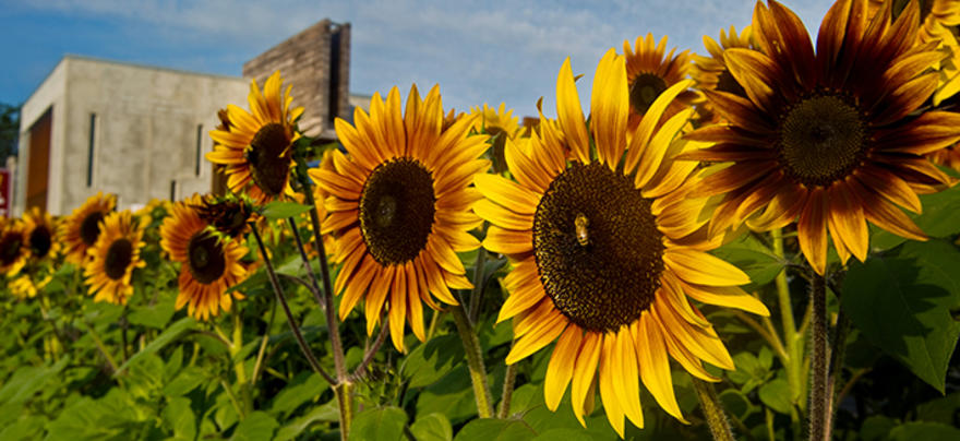 Sunflowers on UMD Campus