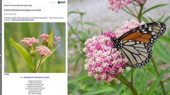 milkweed_monarch